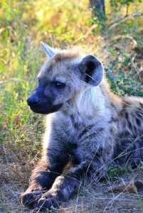 spotted-hyena-410825_640